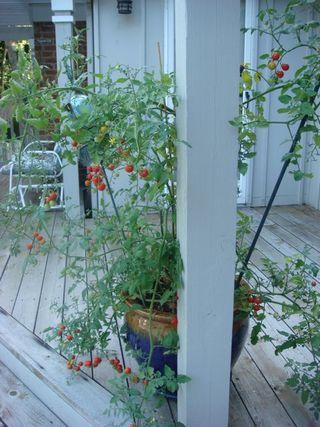 Dom's Tomato Plant