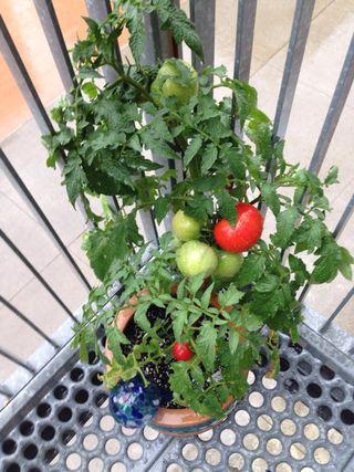 My Tomato Plant